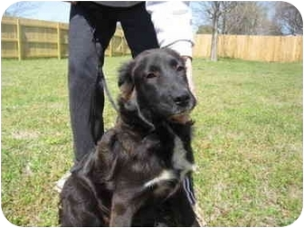 Australian Shepherd/Golden Retriever Mix Dog for adoption in Exeter, New Hampshire - Sabrina
