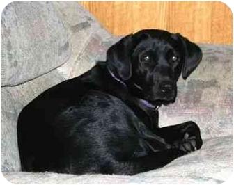 Labrador Retriever Dog for adoption in San Diego, California - IZZY