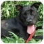 Photo 1 - Labrador Retriever/American Staffordshire Terrier Mix Dog for adoption in Freeport, New York - Creasy