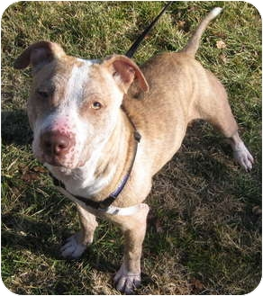 American Staffordshire Terrier Mix Dog for adoption in Sacramento, California - Tanna will bring smiles!