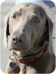 Weimaraner Dog for adoption in Sun Valley, California - Geena