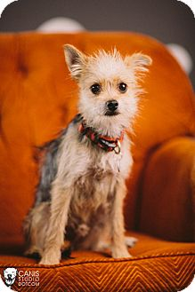Yorkie, Yorkshire Terrier Mix Dog for adoption in Portland, Oregon - Petey