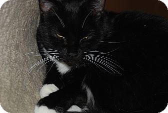American Shorthair Cat for adoption in Ogden, Utah - Bert