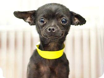 Chihuahua Dog for adoption in Studio City, California - Ebony
