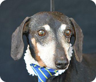 Dachshund Dog for adoption in Plano, Texas - Gus