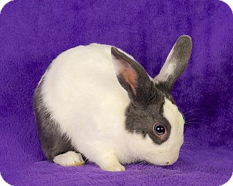 Dutch Mix for adoption in Lewisville, Texas - Bubbles