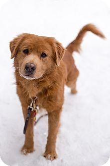 Golden Retriever Mix Dog for adoption in Northville, Michigan - Marley - Adoption Pending
