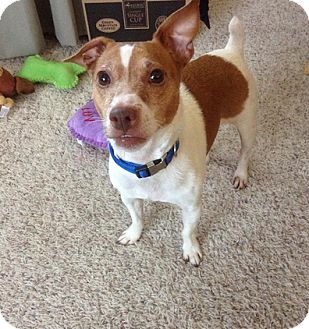 Jack Russell Terrier Mix Dog for adoption in Grand Rapids, Michigan - Peanut