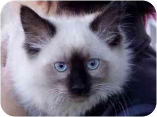 Himalayan Kitten for adoption in Roundup, Montana - Clyde