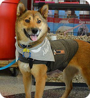 Shiba Inu Dog for adoption in Centennial, Colorado - Inca
