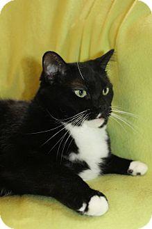 Domestic Shorthair Cat for adoption in Richland, Michigan - Rosalinda