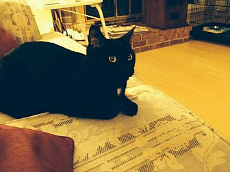 Domestic Shorthair Cat for adoption in Newtown, Pennsylvania - Beetle