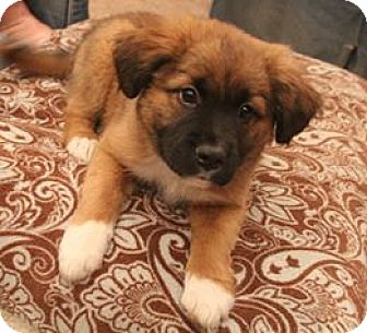 Collie/Golden Retriever Mix Puppy for adoption in Hagerstown, Maryland - Lolly