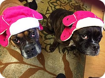 Boxer Dog for adoption in Turnersville, New Jersey - Snickers