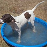 Pointer Dog for adoption in Seguin, Texas - Dillinger
