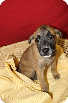 Black Mouth Cur Mix Puppy for adoption in Waldorf, Maryland - Margarita
