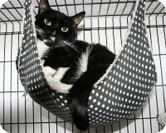 Domestic Shorthair Cat for adoption in Medford, New Jersey - Jazz Hands/Jail Bird