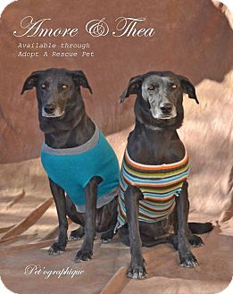 Weimaraner/Labrador Retriever Mix Dog for adoption in Las Vegas, Nevada - Amore