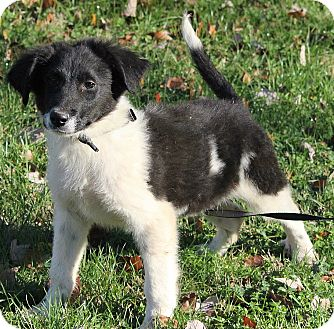 Great Pyrenees Mix Puppy for adoption in Harrisonburg, Virginia - Olin