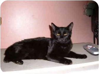 Domestic Shorthair Cat for adoption in Bedford, Massachusetts - Skye