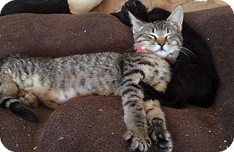 Domestic Mediumhair Kitten for adoption in Corona, California - SHIRLEY