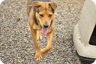 Labrador Retriever/Shepherd (Unknown Type) Mix Dog for adoption in Marble, North Carolina - Paula