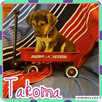 Shepherd (Unknown Type)/Labrador Retriever Mix Puppy for adoption in Scottsdale, Arizona - Takoma