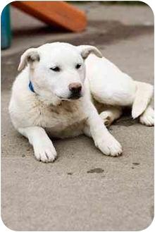 Labrador Retriever Mix Puppy for adoption in Portland, Oregon - Gino