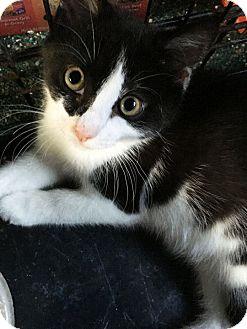 Domestic Shorthair Kitten for adoption in N. Billerica, Massachusetts - Hannah