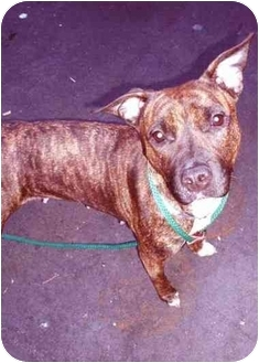 Staffordshire Bull Terrier/American Staffordshire Terrier Mix Dog for adoption in New York, New York - Anna