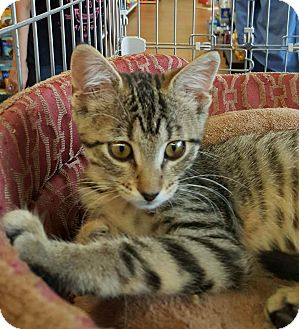 Abyssinian Kitten for adoption in Edgewater, New Jersey - Samantha