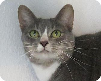 Domestic Mediumhair Cat for adoption in High Point, North Carolina - Cleo