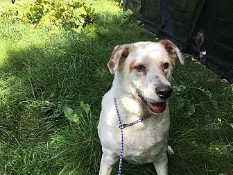Labrador Retriever Mix Dog for adoption in Monroe, Connecticut - Rocky