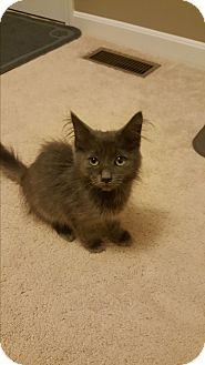 Domestic Longhair Kitten for adoption in Covington, Kentucky - Ellis