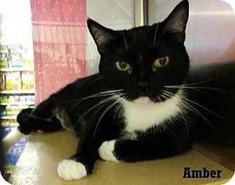 Domestic Mediumhair Cat for adoption in Fullerton, California - Amber
