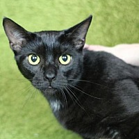 Domestic Shorthair Cat for adoption in Raleigh, North Carolina - Hulu