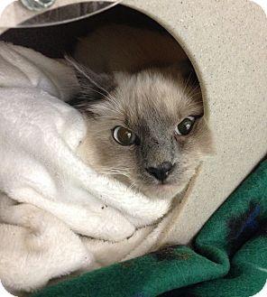 Siamese Cat for adoption in Hendersonville, North Carolina - Bandit