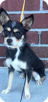 Terrier (Unknown Type, Medium) Mix Dog for adoption in Mount Pleasant, South Carolina - Holly