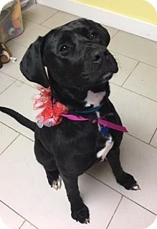 Labrador Retriever/Mixed Breed (Medium) Mix Dog for adoption in Philadelphia, Pennsylvania - Sabrina