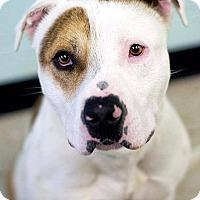 Adopt A Pet :: Bradley - Meridian, ID