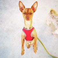 Adopt A Pet :: Red - Newport Beach, CA