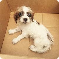 Adopt A Pet :: Cricket - Del Rio, TX