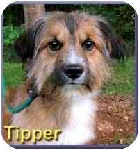 Collie Mix Dog for adoption in Aldie, Virginia - Tipper