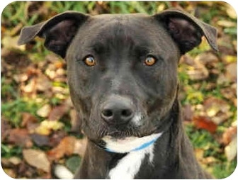 American Staffordshire Terrier Dog for adoption in Chicago, Illinois - Katie