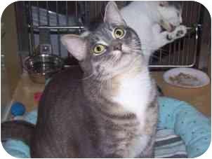 Domestic Shorthair Cat for adoption in Diamond Bar, California - TABBY