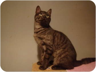 Domestic Shorthair Cat for adoption in Muncie, Indiana - Macy--PETSMART