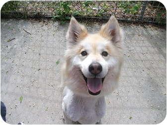 Husky/Collie Mix Dog for adoption in Edwardsville, Illinois - Dori
