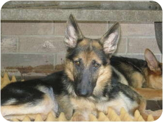 German Shepherd Dog Puppy for adoption in Houston, Texas - Catherine