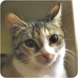 Calico Cat for adoption in Weatherford, Texas - Cassie