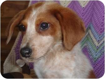 Australian Shepherd/Brittany Mix Puppy for adoption in Old Bridge, New Jersey - Danior